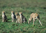 Africa, Tanzania, adult cheetah and young cheetahs
