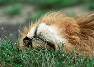Africa, Tanzania, lion lying down, close-up