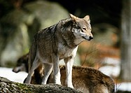 Europe, Germany, wolf