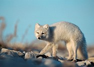 Canada, arctic fox
