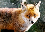 Europe, Scotland, fox, focus on head