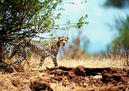 Africa, Tanzania, cheetah