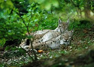 Europe, Germany, two lynxes lying down