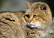 WIldcat, close-up