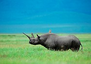 Africa, Tanzania, rhinoceros on plain, side view