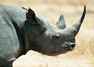 Africa, Tanzania, rhinoceros, focus on head