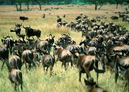 Africa, Tanzania, herd of wildebeests in Savannah, rear view