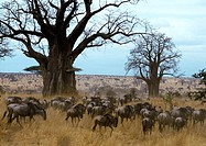 Africa, Tanzania, herd of wildebeests