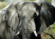 Africa, Botwsana, elephant, focus on head