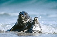 Grey Seals (Halichoerus grypus) mating in shallow water. Island of Helgoland. Germany