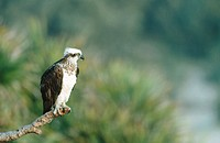 Osprey (Pandion haliaetus). Adult on perch. Fraser Island. Australia