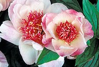 Japanese tree peony blooms (Paeonia sp.)