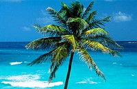 Coconut tree. Sint Maarten. West Indies. Caribbean
