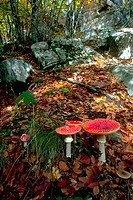 Forest ground with Fly Agaric Mushrooms (Amanita muscaria)