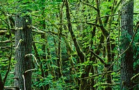 Coast Forest in Goldstream Provincial Park. Victoria. British Columbia. Canada