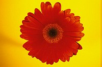 Red flower (thumbnail)