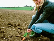 Farmer pulling carrots out the soil
