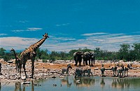 African Elephants, Burchell´s Zebra and a Giraffe Beside a Water Hole