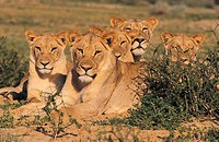 Group of Lions