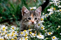 Kitten in meadow with blossoming wild camomile