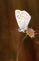 Adonis Blue butterfly (Polyommatus bellargus)