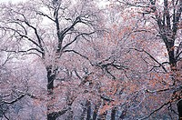 Black Oak Trees, Yosemite National Park, California, Usa