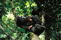 Chimpanzee mother and baby resting in tree (Pan troglodytes)