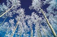 Aspen Trees, Steamboat Springs, Colorado