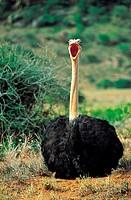 Ostrich yawning (Struthio camelus)