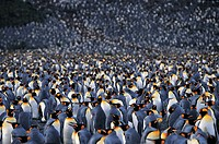 Colony of King Penguins (aptenodytes Patagonicus)