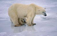 Polar bear (Ursus maritimus) sow and cub on shores of Hudson's Bay, Canada