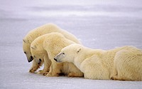 Polar bears (Ursus maritimus) on frozen lake near Hudson´s Bay, Canada