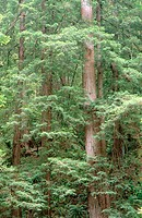 Redwood (Sequoia sempervivens) forest in spring. Muir Woods National Monument. Marin County. California. USA