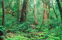 Tangle of vegetation. Muir Woods National Monument. Marin County. California. USA