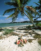Palm trees and conchs on beach. Abacos Island. Bahamas. Caribbean