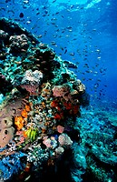 Red Anthias and coral reef. Komodo National Park. Flores island. Indonesia