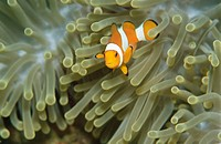 Clownfish (Amphiprion ocellaris) in Sea Anemone. Komodo National Park. Flores island, Indonesia