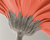 Close up image of a gerbera daisy (thumbnail)