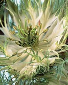 Love in a mist flower (thumbnail)