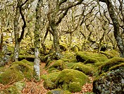 Knarled oak trees, Puzzle Wood, Dartmoor, UK.