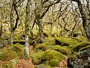 Knarled oak trees, Puzzle Wood, Dartmoor, UK.