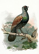 Capercaillie. Historical artwork  of    a    male capercaillie (Tetrao urogallus) on a branch.  This is a  large  game  bird  that  inhabits  the  col...
