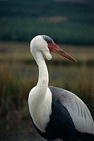 Wattled crane (Grus carunculatus).    Largest  and most  rare of the cranes in Africa.  It stands 1.5 metres tall.  G.  carunculatus inhabits  permane...