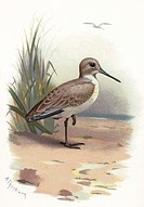 Dunlin.  Historical artwork of a dunlin  (Calidris alpina),  a small wading shorebird. It is found in coastal areas around  northern  Europe  and  Nor...