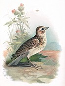 Skylark.  Historical artwork of a skylark  (Alauda arvensis).   This  bird  is famed for its warbling song,  which  it  sings  during  its  distinctiv...