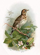 Tree pipit. Historical artwork of a tree pipit (Anthus trivialis). This small bird is a migrant, spending the breeding season in  Europe  a...