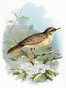 Grasshopper  warbler.   Historical  artwork  of  a grasshopper warbler (Locustella naevia).  Both the common and scientific names  of  this  small  bi...