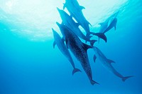 Spotted dolphins.  Group (pod) of Atlantic spotted dolphins (Stenella frontalis) swimming underwater. This dolphin may reach  a length of  almost  thr...