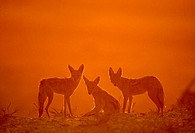 Black-backed jackals,  Canis mesomelas,  at  dawn. These  scavengers  are seen in packs,  alone or in family groups.  Greeting gestures and social  pl...