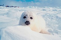 animal, animals, baby seal, Canada, North America, America, Harp Seal, new, Pagophilus groenlandicus, Phoca, Provinc